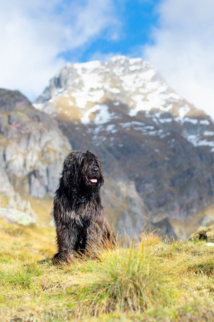 Bergamasco, Italian shepheard - The Proud Italian