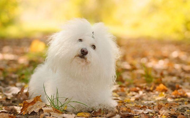 Bolognese dog - The Proud Italian
