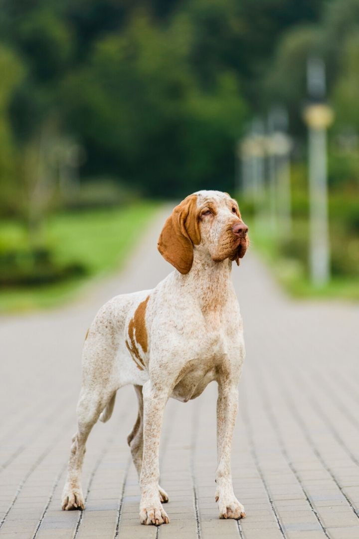 Bracco Italiano, Italian dog breeds - The Proud Italian
