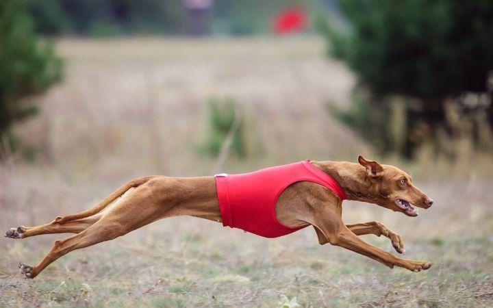 Cirneco dell'Etna, top Italian dog breeds - The Proud Italian