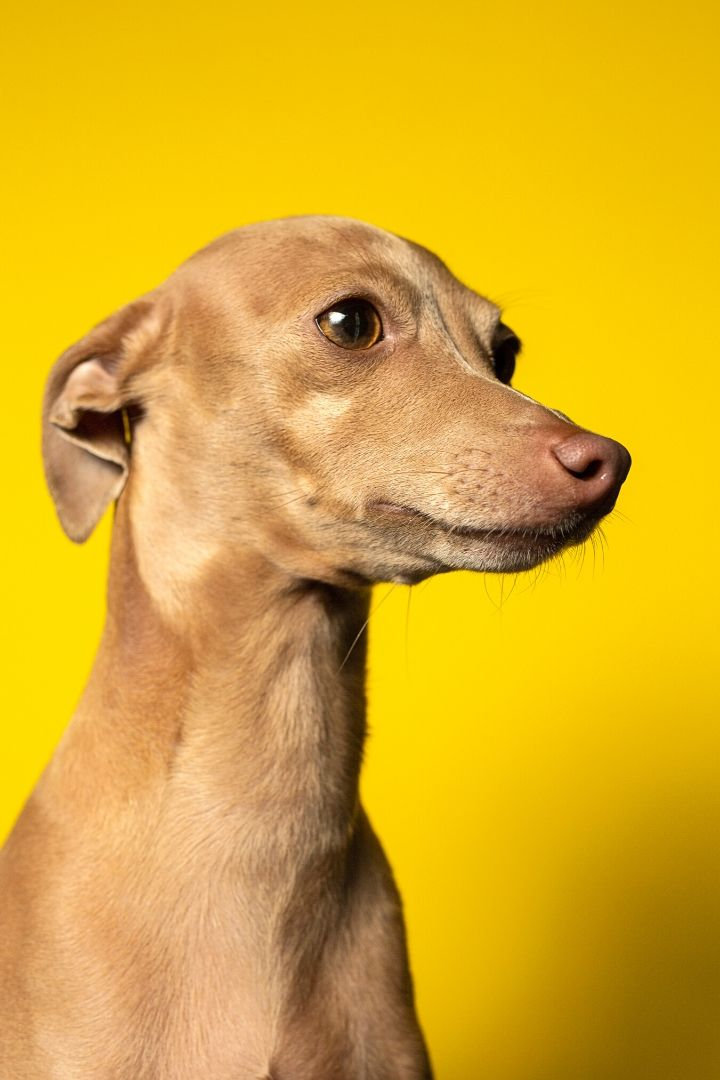 Italian dog breeds, Italian greyhound - The Proud Italian
