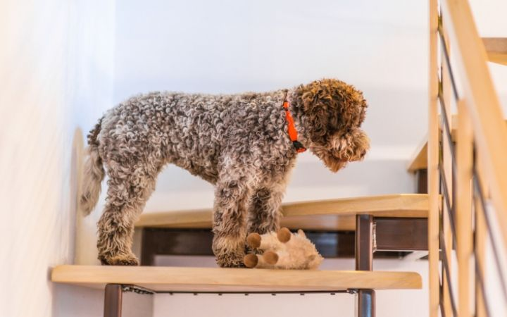 Lagotto Romagnolo, italian water dog - The Proud Italian