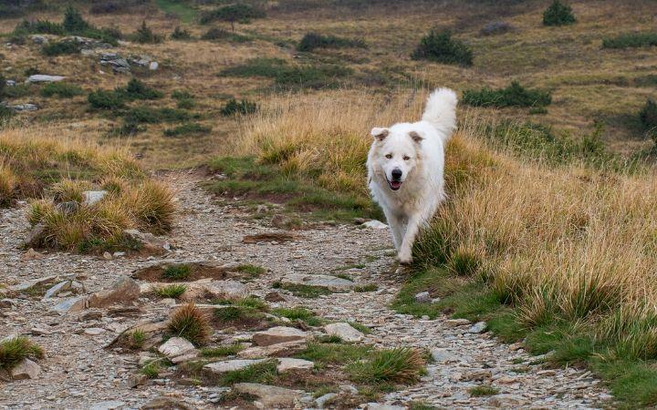 Maremma Sheepdog - The Proud Itailan