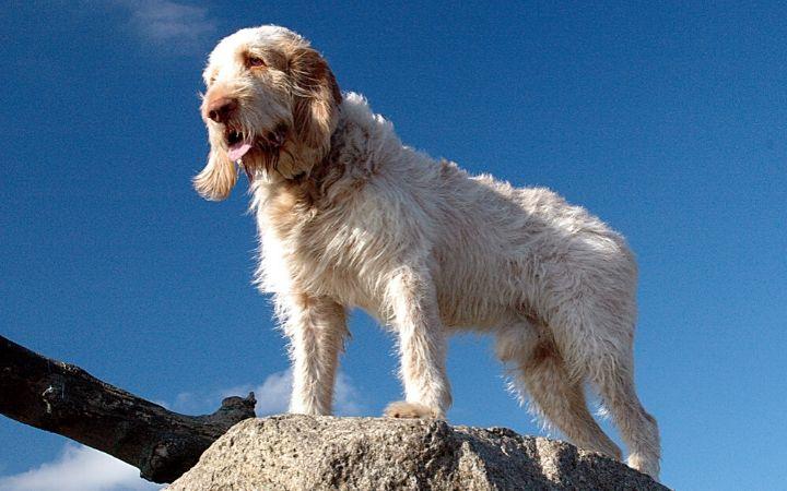 Spinone Italiano, top 10 Italian dog breeds - The Proud Italian