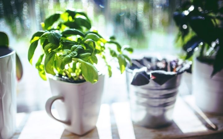 Basil in a cup, How to Grow Basil Indoors - The Proud Italian