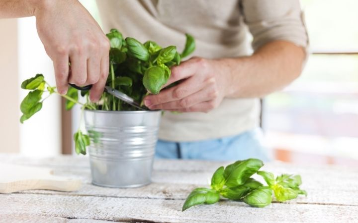Harvesting Basil, How to Grow Basil Indoors - The Proud Italian