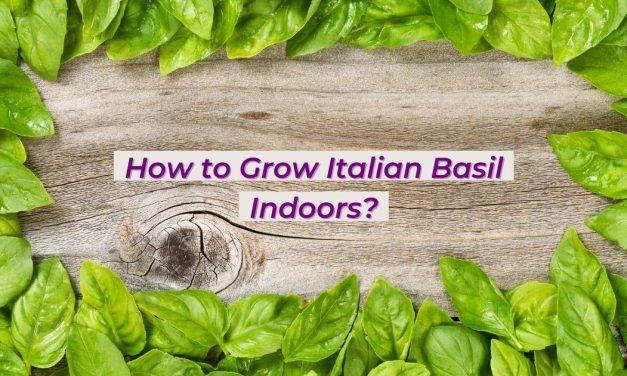 How to Grow Italian Basil Indoors?