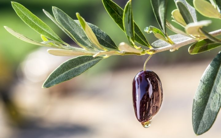 Olive oil on olive berry, Olive Oil vs. Extra Virgin Olive Oil - The Proud Italian