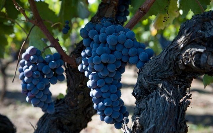 Red grapes of Nerello Mascalese - The Proud Italian