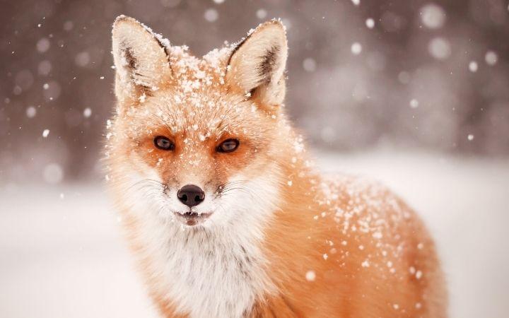 Fox in the snow - The Proud Italian