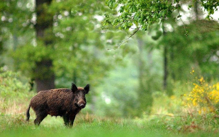 Wild boar in the wood - The Proud Italian