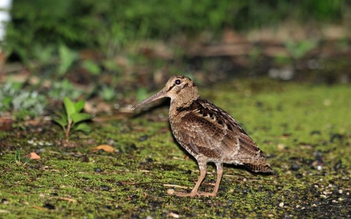 Woodcock in his natural habitat - The Proud Italian