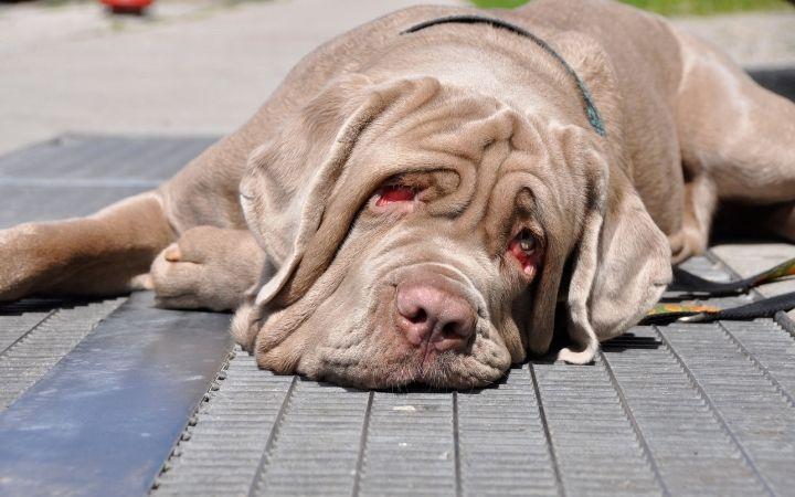 Neapolitan mastiff lying on the floor - The Proud Italian