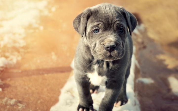 Neapolitan mastiff puppy - The Proud Italian