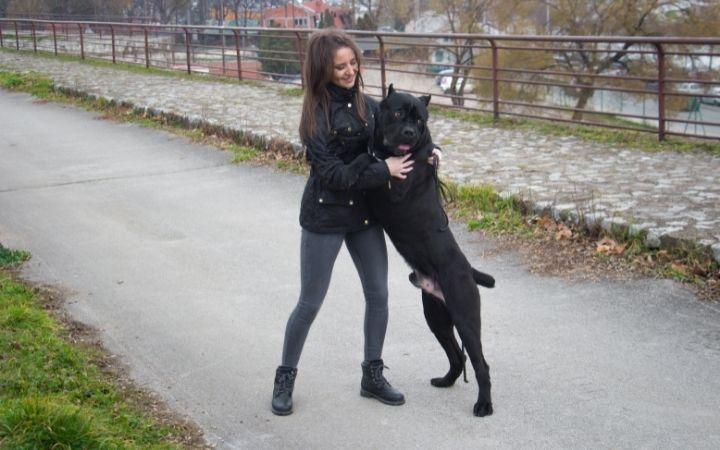 Neapolitan mastiff with owner - The Proud Italian