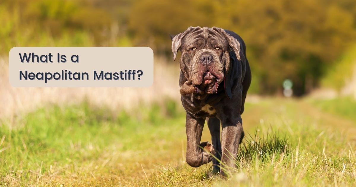 What Is a Neapolitan Mastiff - The Proud Italian