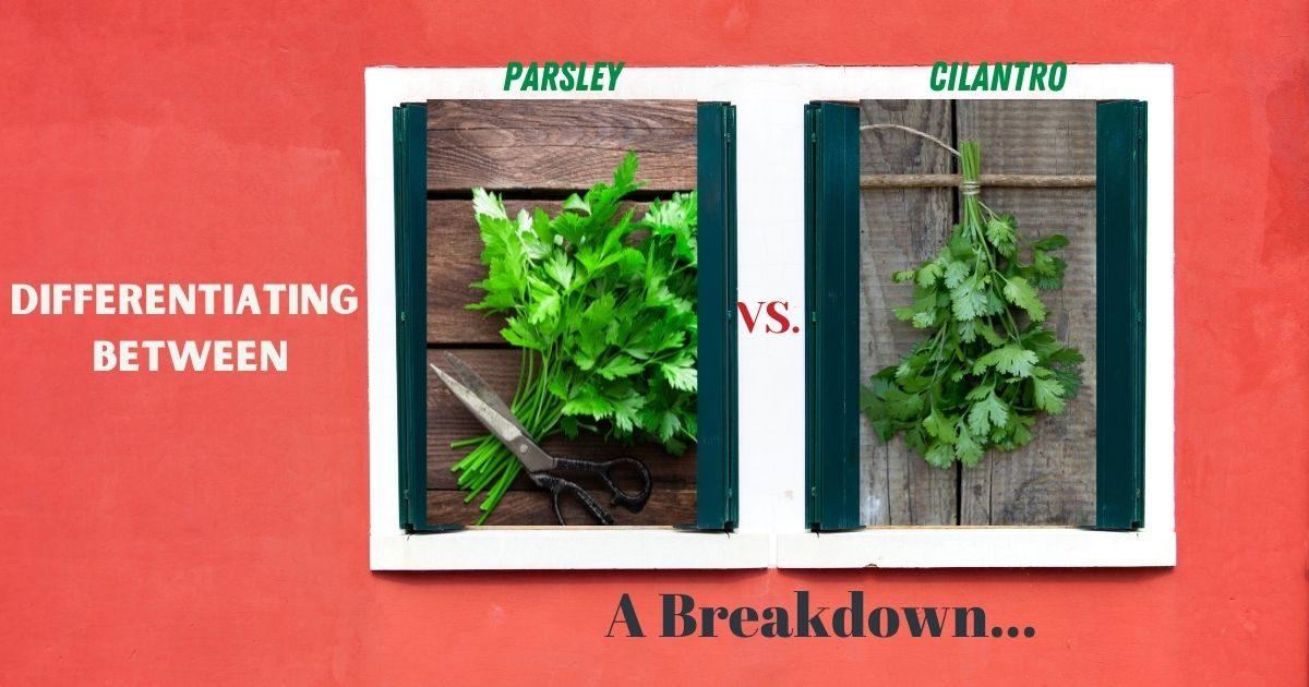 parsley vs cilantro